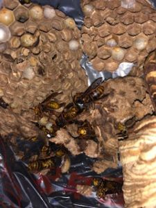 ハチ王の駆除した巣